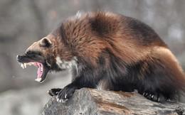 """Câu chuyện đáng thương của loài vật nhanh như sói và mạnh như gấu, nhưng vẫn phải vật lộn khốn khổ vì hai chữ """"mưu sinh"""""""