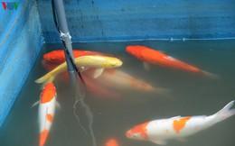Cá Koi bơi lội khỏe mạnh sau hơn 24h được thả xuống sông Tô Lịch