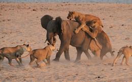 Đàn voi kịp thời giải cứu, voi con thoát chết trong gang tấc