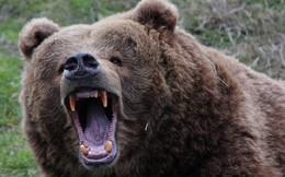 Hai con gấu nâu vừa gặp nhau đã lao vào ẩu đả kinh hoàng