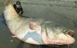 Sửng sốt xem con cá trê ăn thịt lớn nhất thế giới bị bắt