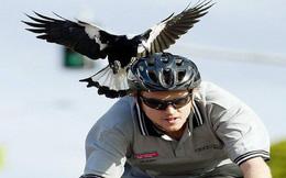 Lại là nước Úc kinh dị: Tài xế ở đây đang có nguy cơ phải bỏ mạng vì biệt đội 'Angry bird' từ trên trời rơi xuống