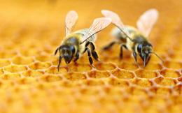 Nếu loài ong tuyệt chủng, rất có thể nhân loại chỉ tồn tại được thêm 4 năm