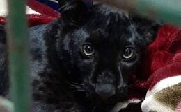 Tin khẩn: Con báo đen leo trèo khắp các mái nhà ở Pháp đã bị kẻ gian vào tận sở thú bắt cóc