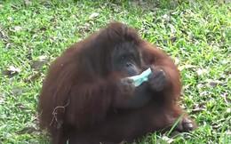 Sở thú Thái Lan phát khẩu trang cho đười ươi và tinh tinh để tránh khói bụi