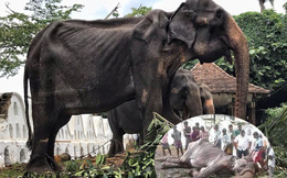 Phẫn nộ với nguyên nhân chết của cụ voi gầy trơ xương từng gây chấn động