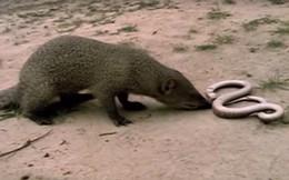 Ngã ngửa với cái kết của rắn hổ mang khi tấn công chồn xám