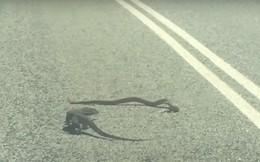 Màn đối đầu nghẹt thở giữa kỳ nhông và rắn độc trên đường cao tốc