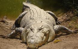 Cá sấu nước mặn bất ngờ xuất hiện tóm gọn Kangaroo