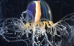 Giải mã siêu năng lực của loài sứa: Tại sao chúng có thể mọc lại phần cơ thể đã mất?
