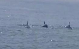 Cá heo xuất hiện ở bờ biển Hội An là tín hiệu đáng mừng