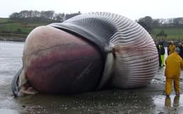 Một con cá voi có thể nặng đến cả trăm tấn nhưng làm sao khoa học biết được điều đó?