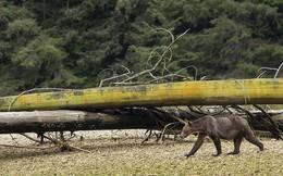 Cảnh tượng gấu mẹ gầy trơ xương cùng 2 con đi khắp nơi tìm thức ăn ai nhìn cũng xót xa