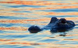Cá sấu non trở thành bữa ăn 'ngon lành' cho cá sông