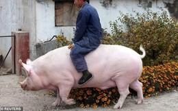 Đại gia Trung Quốc nhảy vào nuôi heo siêu khổng lồ
