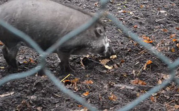 Lần đầu tiên trong lịch sử khoa học nhìn thấy cảnh lợn biết dùng gậy đào đất: Tiến hóa là có thật?
