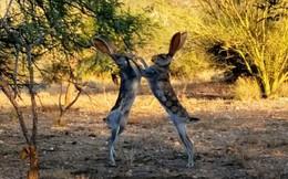 """Choáng với trận """"so găng sinh tử"""" giữa hai chú thỏ trên hoang mạc"""