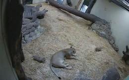 Video: Sư tử con ú òa, sư tử mẹ khiếp vía
