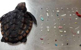 Rùa con tử nạn sau khi nuốt phải hơn 100 hạt nhựa: Còn ai dám bảo nhựa không có hại nữa?