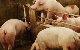 Nông dân giàu nhất Trung Quốc kiếm được gần 10 tỷ USD nhờ giá lợn tăng