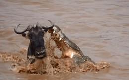 Cuộc chạm trán sinh tử giữa linh dương đầu bò và cá sấu sông Nile