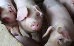 Cơn khát thịt lợn của Trung Quốc có thể mang đến núi tiền cho nông dân Mỹ