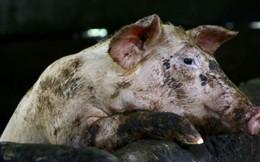 Sáng kiến độc đáo của Triều Tiên trong thời lợn dịch