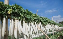 Củ cải trắng - thuốc quý cho sức khỏe mùa đông