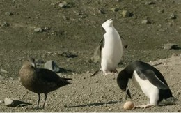Video: Cảnh tượng chim cánh cụt tìm mọi cách xua đuổi kẻ cướp trứng