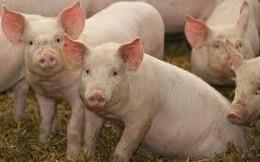 Dịch tả lợn châu Phi sẽ khiến 1/4 số lợn trên thế giới bị chết