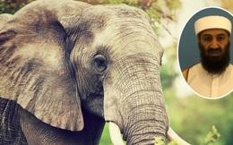 Ấn Độ: Con voi đặt tên theo trùm khủng bố Osama bin Laden tấn công dân làng khiến 5 người tử vong
