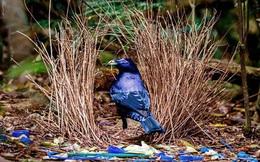 Đây là loài chim được mệnh danh là 'thánh tán gái' của thế giới động vật, có trình độ quyến rũ bạn tình vô cùng thượng thừa
