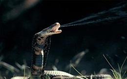 Tại sao rắn hổ mang có thể phình rộng phần cổ?