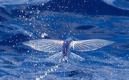 1001 thắc mắc: Làm thế nào cá chuồn biết bay