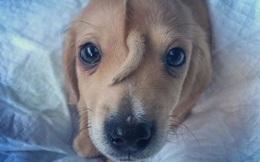 Chú chó kỳ lạ nổi tiếng khắp mạng xã hội với cái đuôi mọc trên trán