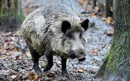 Tội phạm nổi điên khi bị lợn rừng cày xới nửa tỷ ma túy chôn sâu trong rừng