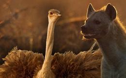 Đà điểu đại chiến linh cẩu để bảo vệ đàn con