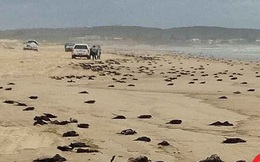 Bí ẩn xác chết chim báo bão nằm la liệt trên bờ biển