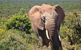 Vì sao không bao giờ nhìn thấy xác voi trong rừng?