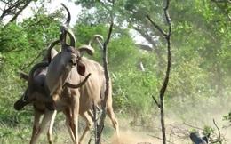 Linh dương kudu đang húc nhau thì bị sư tử tóm gọn