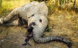 WWF: Chúng ta chỉ còn 20 năm trước khi loài vật trên cạn to lớn bậc nhất thế giới sẽ bị tuyệt diệt