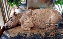 Cá thể tê giác Sumatra cuối cùng của Malaysia qua đời vì ung thư
