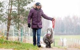 Kỳ quặc loài ngựa lùn nhất thế giới, chưa bằng con chó to