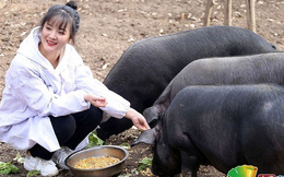 Giữa cơn bão thịt lợn tăng giá, ông bố quyết định trao tặng 300 con lợn cho bất kì ai kết hôn với cô con gái xinh đẹp của mình