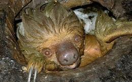 Phát hiện con lười trốn dưới hố xí xây trong rừng Amazon, những gì xảy ra sau đó khiến bất kỳ ai cũng thấy... buồn nôn đến tột độ