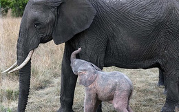 Điều ngạc nhiên về voi màu hồng cực quý hiếm vừa xuất hiện
