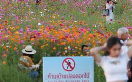 Khách du lịch cố tình dẫm đạp lên cánh đồng hoa xinh đẹp để sống ảo bất chấp biển cấm khắp nơi khiến dân mạng Thái Lan phẫn nộ