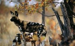 Nhờ sức mạnh tập thể, đàn chó hoang hạ gục linh dương đầu bò