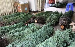 Thông tươi chơi Noel, 30 triệu/cây chưng mấy hôm rồi làm củi
