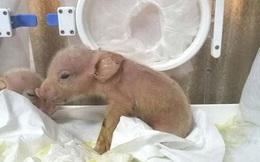 Hai chú lợn lai khỉ đầu tiên trên thế giới chào đời ở Trung Quốc